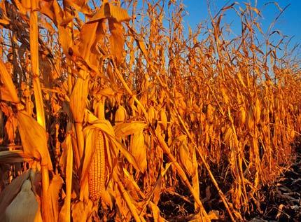 Corn fields of North Dakota near Grand Forks, ND